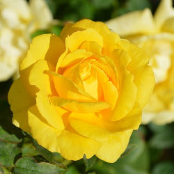 The Yellow Rose of Texas SCORE